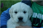 Picture of Adorable AKC English Cream - CH bloodlines - Lady