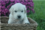 Picture of Adorable AKC English Cream - CH bloodlines - Grant