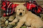 Picture of Adorable Champion-bloodline AKC male puppy Mickey
