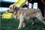 Picture of Adorable Champion-bloodline AKC male - Bailey