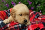 Picture of Adorable Champion-bloodline AKC male - Jake