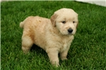 Picture of Adorable Champion-bloodline AKC male - Ranger