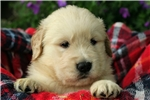 Picture of Adorable Champion-bloodline AKC male - Kyrie
