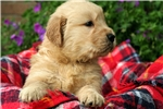 Picture of Adorable Champion-bloodline AKC male - Murphy