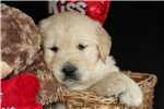 Picture of Adorable Blocky-head AKC Golden Pup