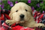 Picture of Adorable Champion-bloodline AKC male - Lebron