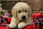 Adorable AKC English Cream - CH bloodlines - Coope | Puppy at 6 weeks of age for sale