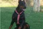 Picture of Champion Russian Import doberman pup