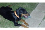 Picture of Champion Russian Import Doberman pup female
