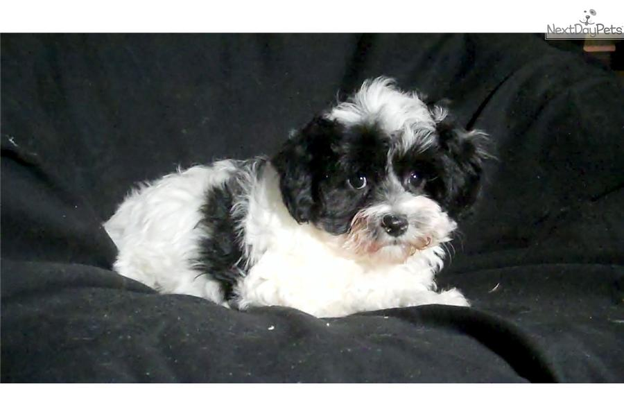 Malti poo maltipoo puppy for sale near flint michigan c5b7753c