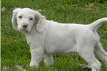 Picture of an English Setter Puppy