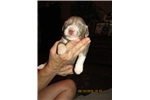 Picture of UKC Bearded Collie pup