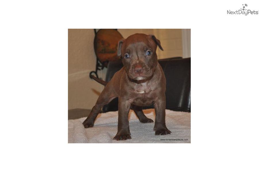 American pit bull terrier puppy for sale near mcallen edinburg