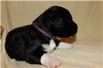 Picture of Gorgeous AKC Champion Bred Puppies Available Now