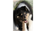 Picture of Val Hi Collies
