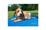 Picture of Redtick Engish Puppy For Sale