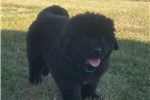 Picture of Chewbacca - AKC Registered Newfoundland Puppy