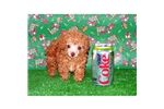 Featured Breeder of Toy Poodles with Puppies For Sale