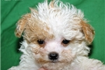 Picture of Pocket Poodle # 2