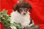 Picture of Pocket Poodle # 1