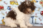 Picture of Tiny Toy Poodle #5
