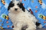Picture of Tiny Toy Poodle #4