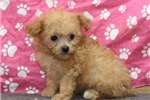 Picture of Pocket Poodle # 3