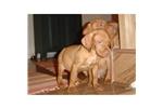 Picture of a Vizsla Puppy
