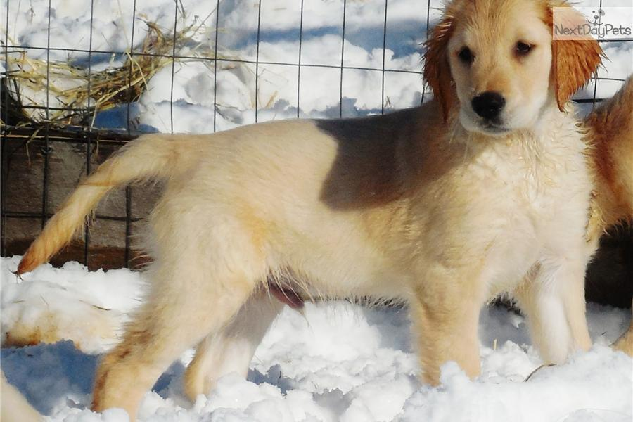 Golden Retriever puppy for sale near Maine | 2fc95343-f181