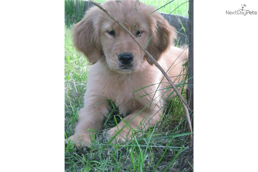 Maine adult golden retriever