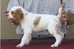 Picture of AKC American Brittany Puppies