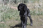 Picture of AKC German Shorthair Pointer Puppy