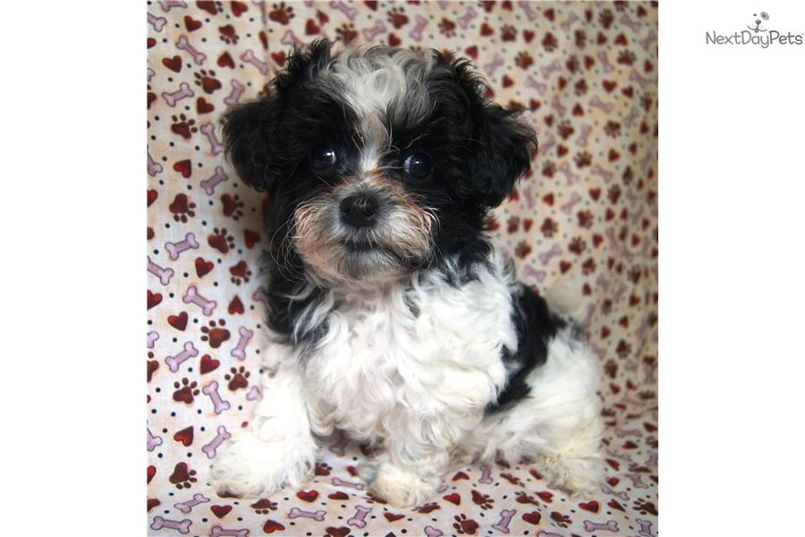 shihpoo shihpoo puppy for sale near akron canton