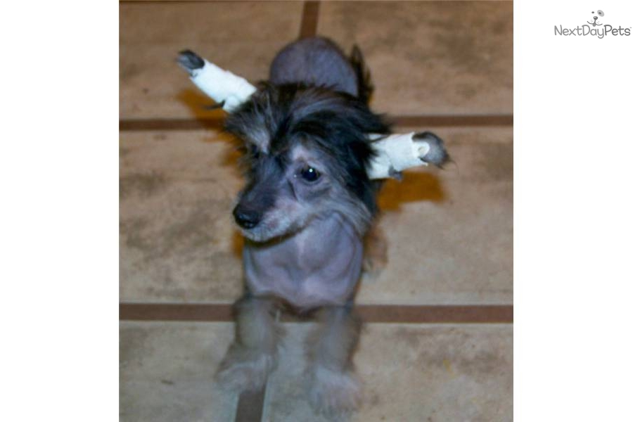 Chinese Crested Girl Dog Names