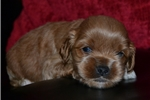 Picture of 1st Generation ICA Registered Cockapoo NY, OH, MA