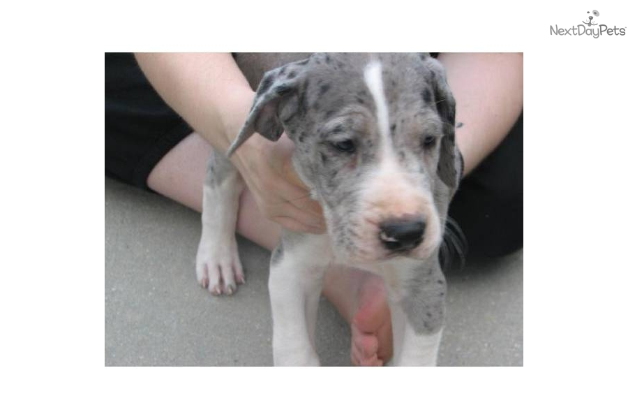 Great dane puppy for sale near tampa bay area florida cd77d1fa c141