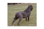 Featured Breeder of Neapolitan Mastiffs with Puppies For Sale
