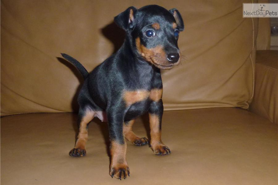 Manchester Terrier, To...