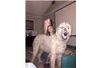 Irish Wolfhound for sale