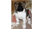 Picture of AKC Female Akita- Sophie