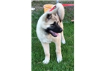 Picture of AKC Akita Female-Blondie