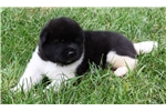 Picture of AKC Female Akita- Lovely Luna