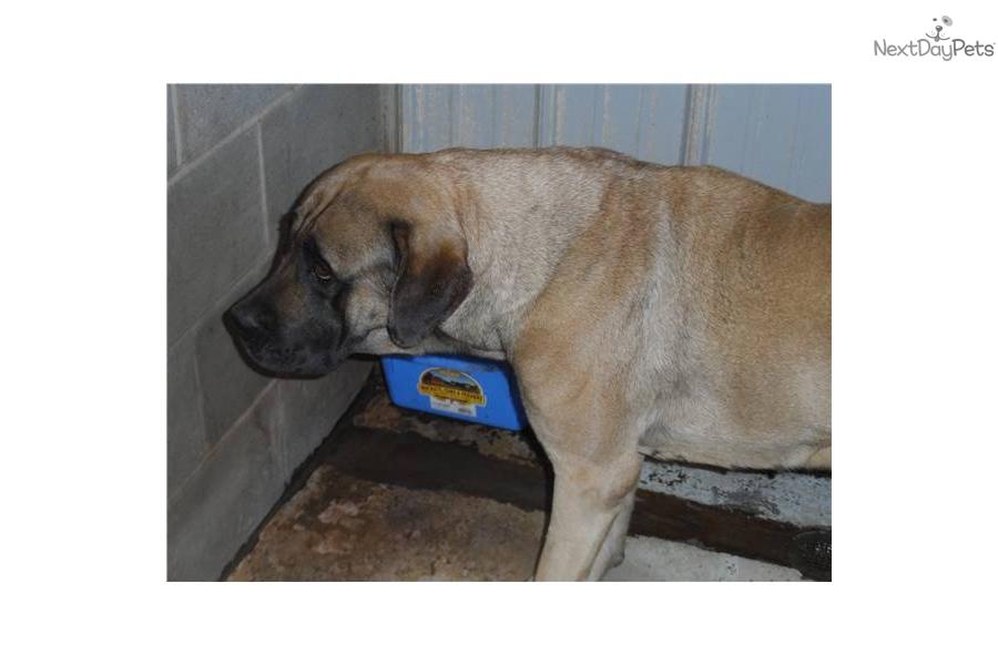 Adopt izzy a mastiff puppy for 2yr old english mastiff for