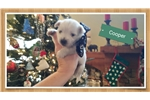 Picture of Cooper - AKC Westie puppy