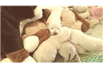 Picture of Bear - AKC Westie puppy