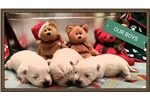 Picture of Charlie - AKC Westie puppy