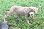 Picture of AKC Breeder of Merit -3,5 moes tawny female pup