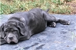 Picture of AKC Breeder of Merit - 6 moes blue female pup