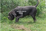 Neapolitan Mastiffs for sale