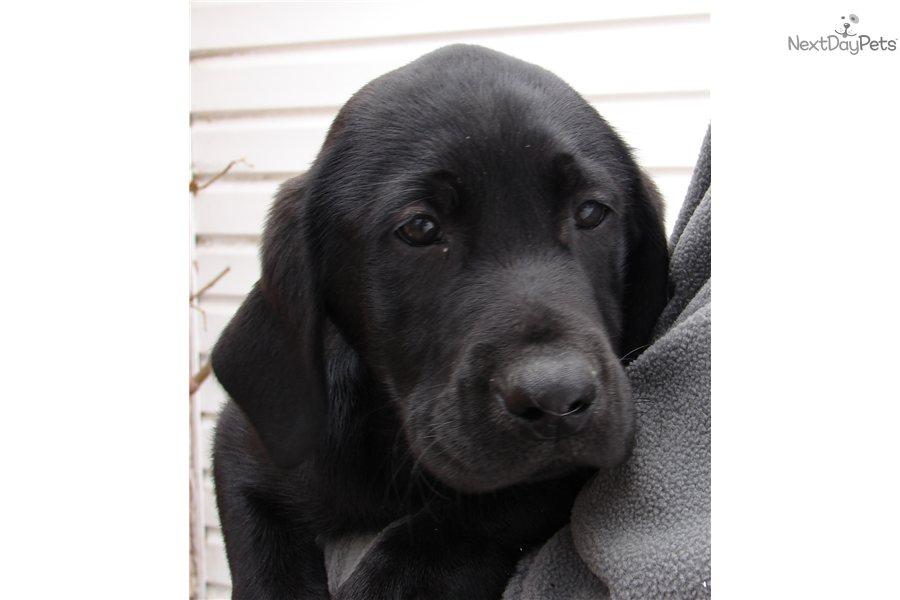 Labrador Retriever puppy for sale for $600. AKC MALE BLACK LAB PUPPY ...